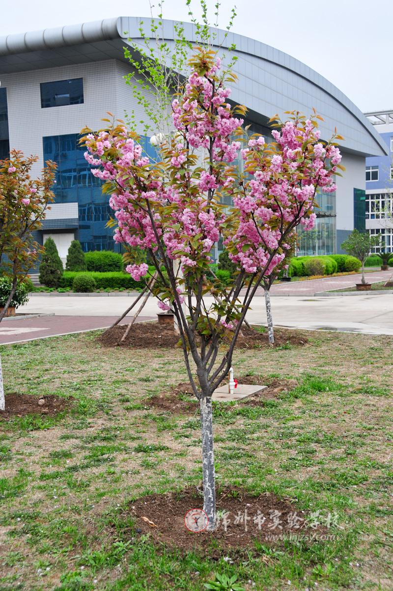 日本樱花树(组图)